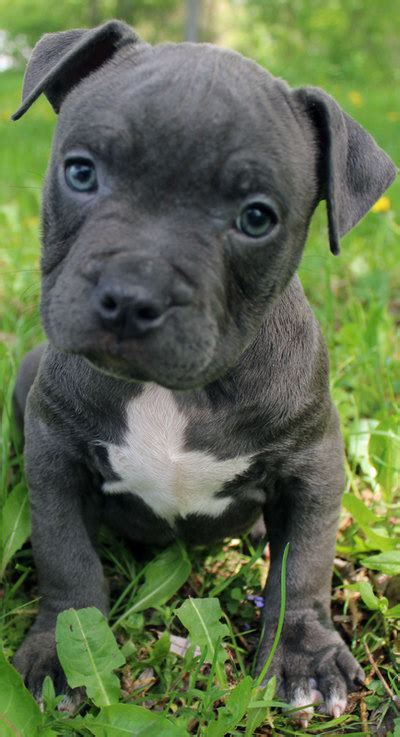 Blue Nose Pitbull Puppies For Sale - Blue Nose Pitbull