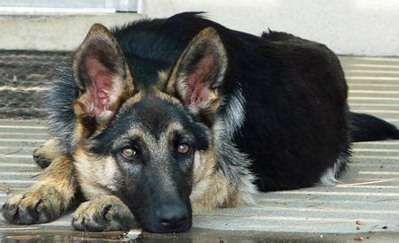 Common Ailments in German Shepherd Dogs | Dog Care - Daily