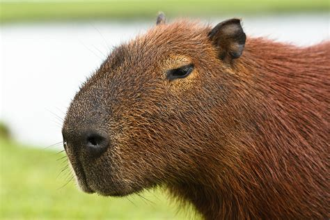 Who's the giant hamster?!   Capybaras are very common in